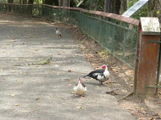 Mayaguez Zoo: THE IGUANAS