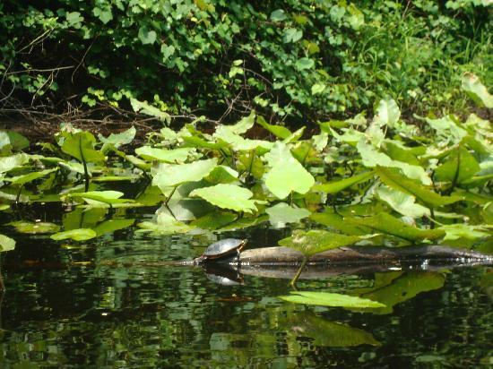 Great Dismal Swamp National Wildlife Refuge: Turtle