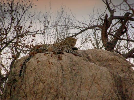 nDzuti Safari Camp: Leopard