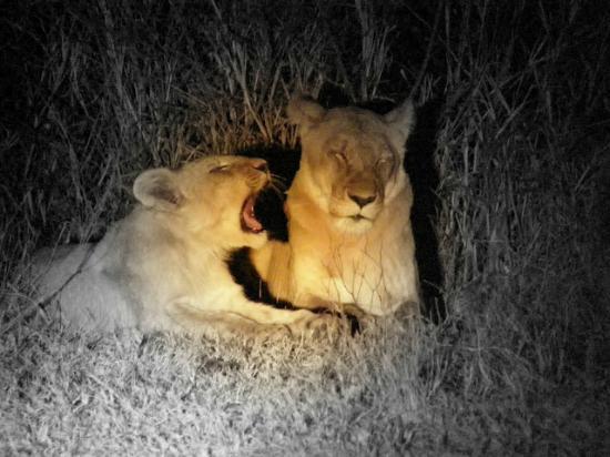 nDzuti Safari Camp: Lions