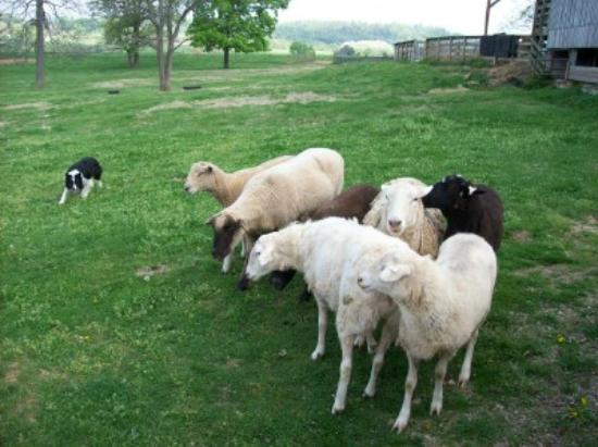 Kentucky Down Under Adventure Zoo: sheep herding demo