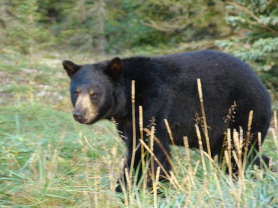 Kaska Goose Lodge: Black Bear