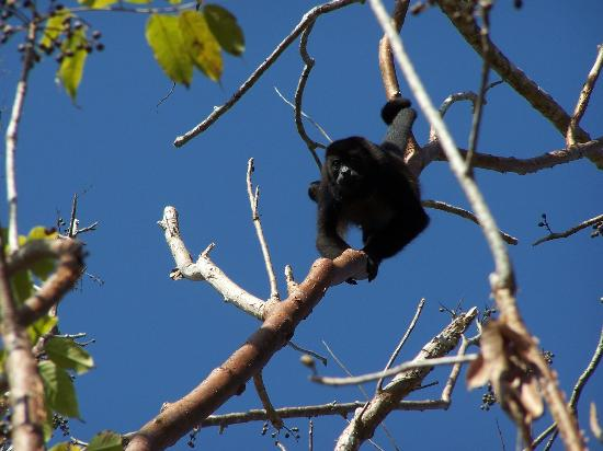 Fidelito Ranch & Lodge: Howler monkey on the ranch.