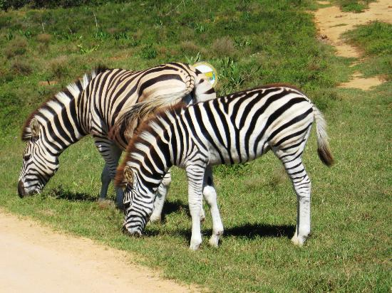 Kingfisher GuestHouse: Zebras at Addo