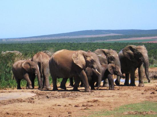 Kingfisher GuestHouse: Herd of elephants at the waterhole