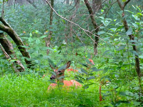 Big Meadows Campground: Deer outside our tent