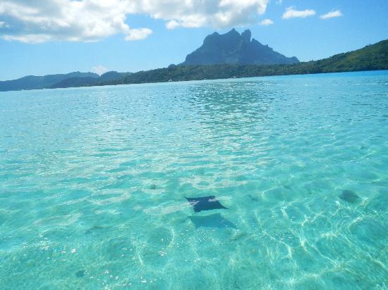Bora Bora Fishing Paradise Lodge : Raie Léopard lagon Bora Bora