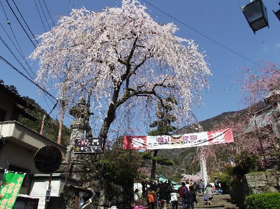Mt. Minobu Kuonji Temple : 三門前の石段(いよいよ桜の始まり)