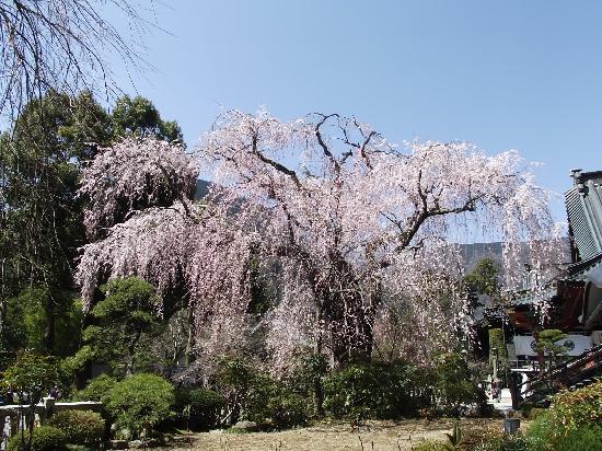 Minobu-cho, Japan: 祖師堂前のしだれ桜(真っ盛り)