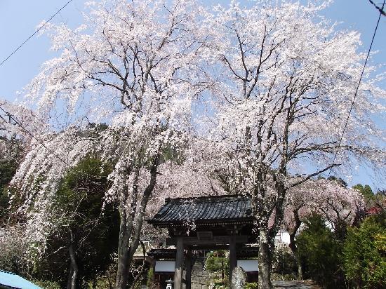 Minobu-cho, Japan: 西谷のしだれ桜(北之坊門前)