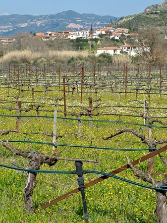 One of the vineyards at Olympia Land Winery.