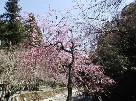 Grave of Nichirenshoto Gosoan: 川沿いの桜もとてもきれい