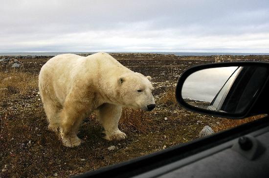 Bay Shore Road: polar bear