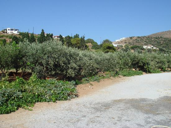 olive trees to the back side of likio studios