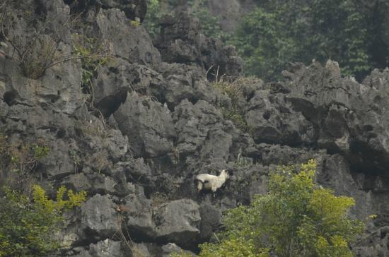 Hoa Lu - Tam Coc Day Tour: Mountain goat at Tam Coc