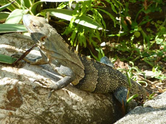 Aparthotel Vista Pacifico: Resident lizard
