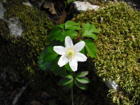 Giardino Botanico Carsiana: <i>Anemone nemorosa</i> ; Anemone dei boschi ; Wood anenome