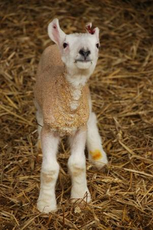 1 day old lamb