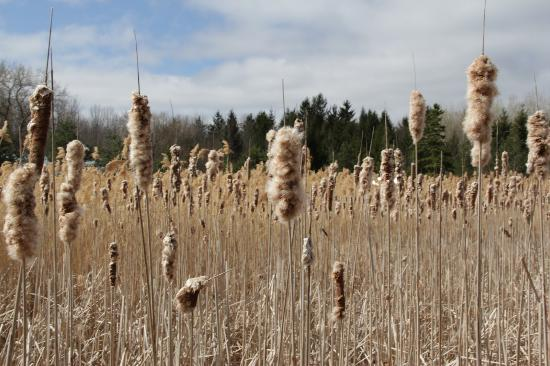 Grey County, Canada: Bullrushes, many, many, bullrushes