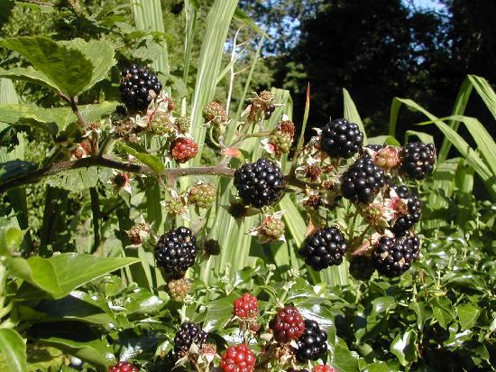 Longford Country House: Blackberries Growing Wild