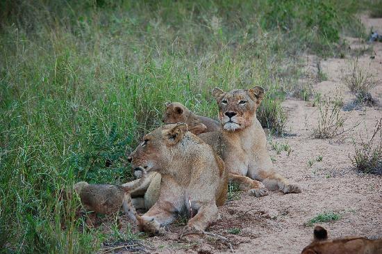 Lion pride at Umlani bushcamp