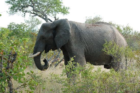 Umlani Bushcamp: Lone elephant at Umlani