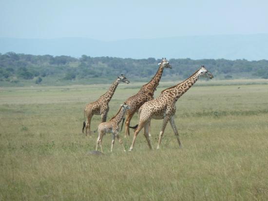 Akagera National Park : Family of giraffe