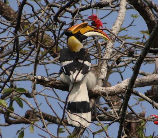 Assam, Indie: Great Hornbill