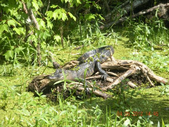 Zam's Bayou Swamp Tours: Baskin in the sun!!