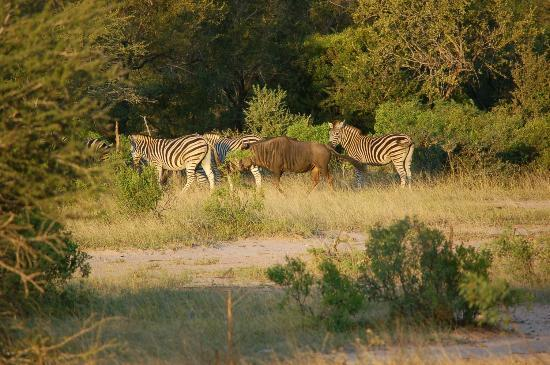 Umlani Bushcamp: Zebar and Wildebeest