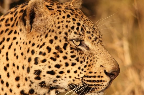 Leopard Mountain Safari Lodge: Leopard