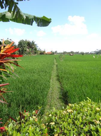 Tegal Sari: rice fields