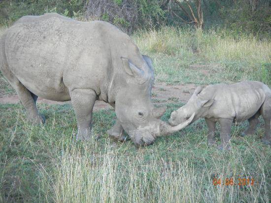 MalaMala Sable Camp : Watch out for my horn, mom!