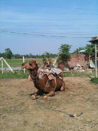 Hotel Monalisa Chitwan: one of the camels