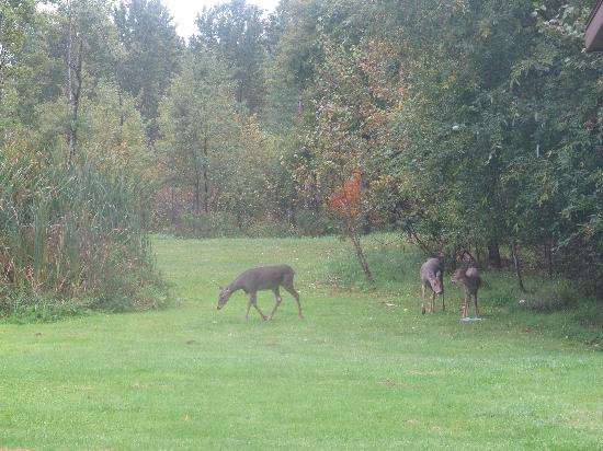 Hide Away Inn : Deer on our 10 acre park  setting
