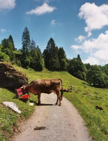 Hotel Cristal: Cows have the right of way