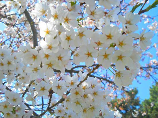 ไฮปาร์ค: Beautiful Cherry Blossoms @High Park