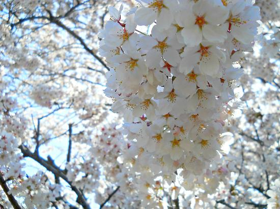 High Park: A bunch of Cherry Blossoms