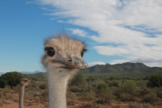 Rietfontein Ostrich Palace: ostrich