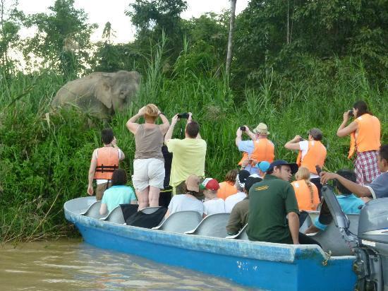 pygmy elephant - Photo de Kinabatangan River, Sabah ...