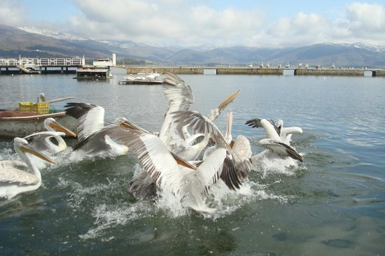 Kastoria, Greece: Pelicans