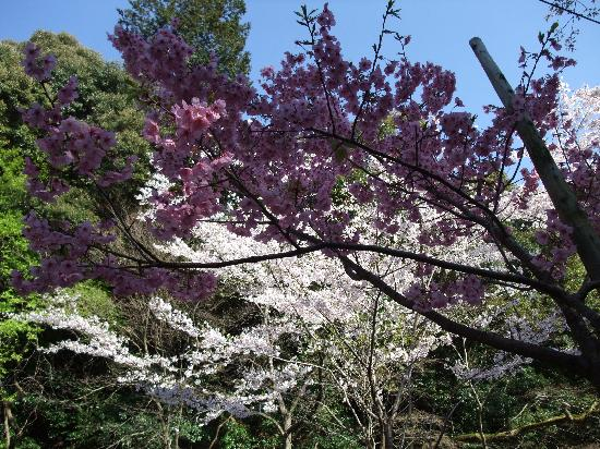 Kyoto, Japan: Sakuras on P. Path, some at the peak, 04/14/2012