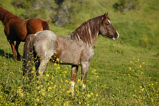 Lompoc, Californië: Mystic, a Hart Mountain Stallion from Oregon