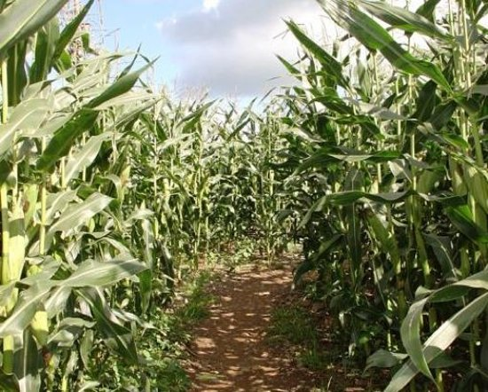 Lakeland Maze Farm Park : In the maize maze