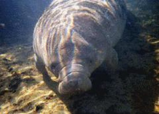 Manatee Tour and Dive: manatee
