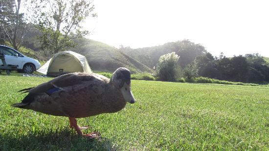 Tutukaka Holiday Park: Bagel the duck at our campsite