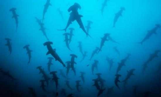 Ocean First: Cocos Hammerheads