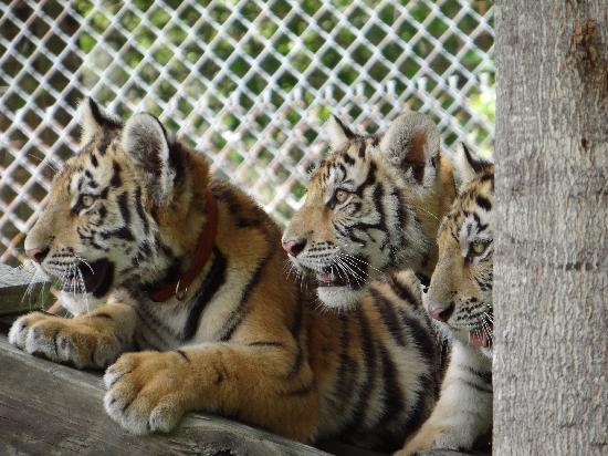 Catty Shack Ranch Wildlife Sanctuary: Three of our cubs