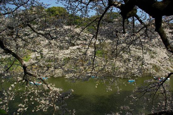 Chidorigafuchi: Sakura 002