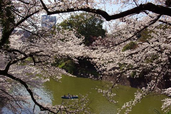 Chidorigafuchi: Chidoriga Fuchi Sakura